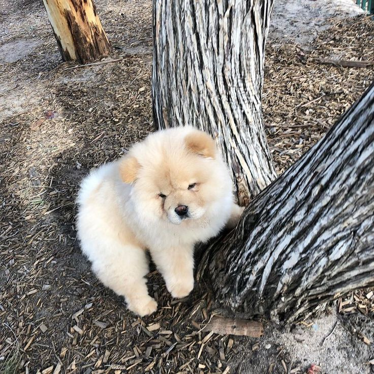 Some Compare Chow Chow S Disposition To That Of A Cat Aloof