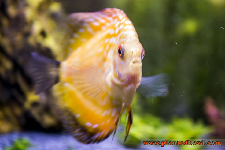 1000+ images about aquarium fish on Pinterest Cichlids, Tropical ...
