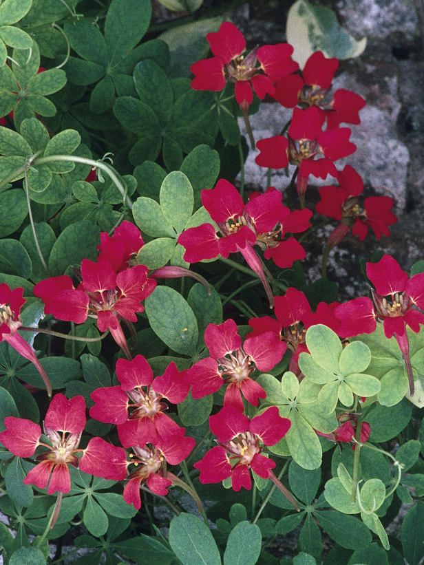 Blooms and Berries  The flame nasturtium is a perennial, climbing variety of nasturtium with vermilion flowers in summer followed by small blue berries.