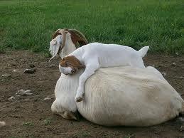 Klettergerüst Für Ziegen Bauen : 47 besten goat hoarding bilder auf pinterest ziege ziegen und
