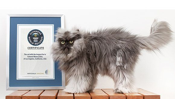 Colonel Meow, the cat with the longest fur, makes it into new Guinness World Records™ 2014 Book | Guinness World Records