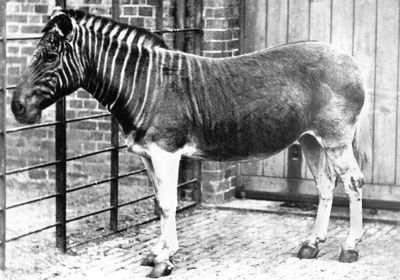 Extinct! The Quagga was a southern subspecies of the Plains Zebra. It differed from other zebras mainly in having stripes on the head, neck, and front portion of its body only, and having brownish, rather than white, on its upper parts. The last free Quaggas may have been caught in 1870. The last captive Quagga, a mare, died on 12 August 1883 in Amsterdam Zoo, where she had lived since 9 May 1867. It was not realized that this Quagga mare was the very last of her kind. Because of the…