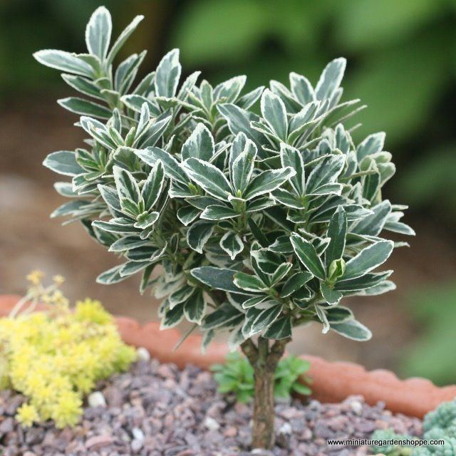 125 Best Miniature Plants U0026 Trees Images On Pinterest | Fairies Garden,  Mini Gardens And Gnome Garden