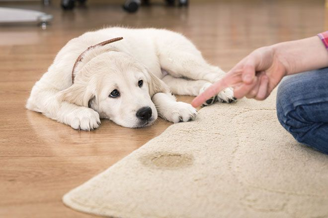 Blog | Urine and your carpets
