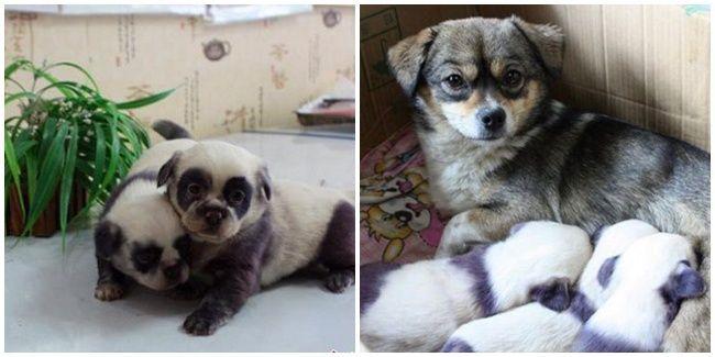 Ragam: Ya Ampuun, Anak Anjing Ini Lucu Sekali Seperti Panda | Vemale.com