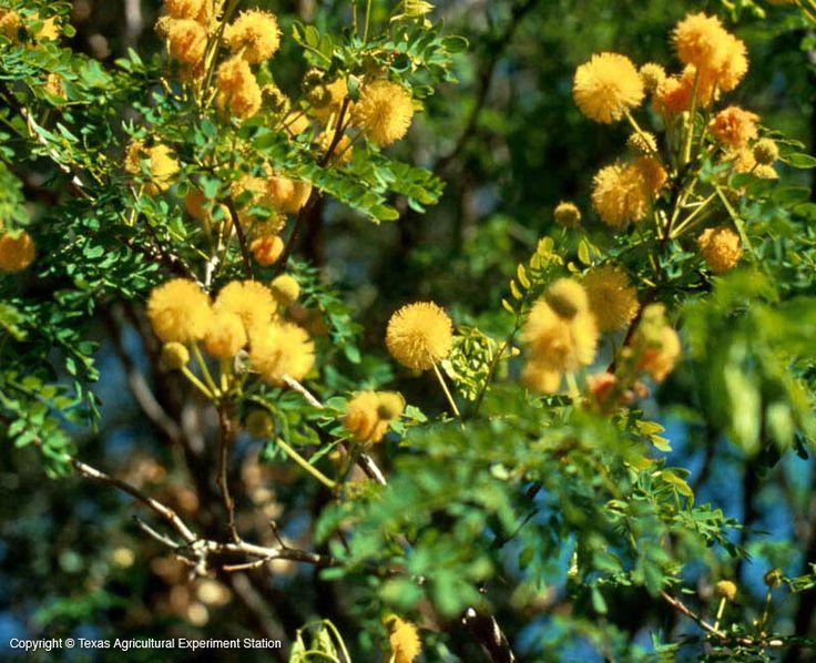 texas native plants database
