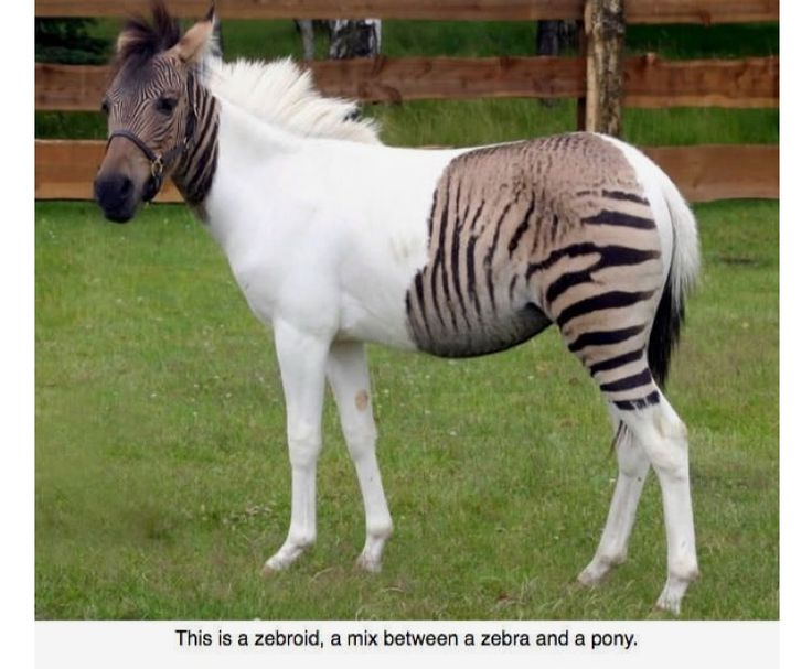 #Zebroid