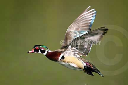 165 best images about Birds of the Sierra Foothills on ... Wood Ducks Flying
