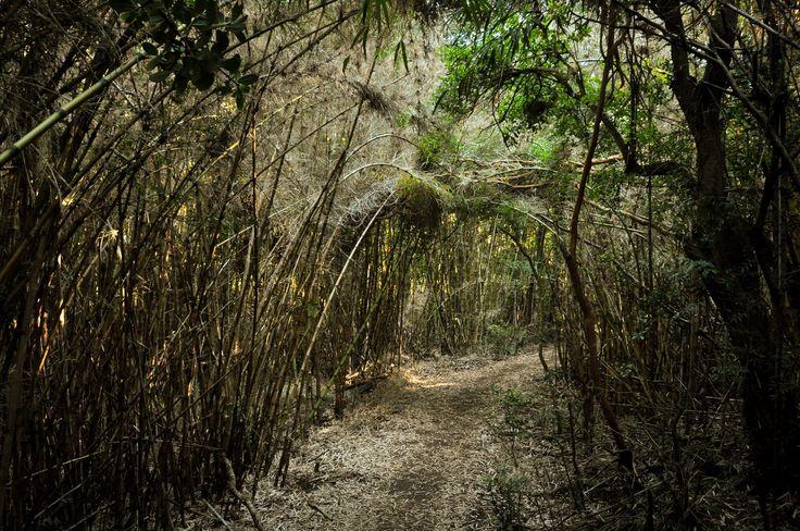 Foret dense dans le Parc de Huerquehue
