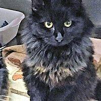 Cherry Hill, New Jersey - Domestic Longhair. Meet Zara, a for adoption. https://www.adoptapet.com/pet/20387463-cherry-hill-new-jersey-cat