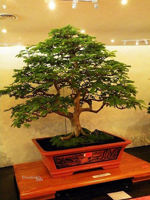 Photo du bonsai : Tamarinier (Tamarindus Indica)