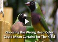 Lady Gouldian Finch.com – Superior Birds, Supplements, Medications & Supplies