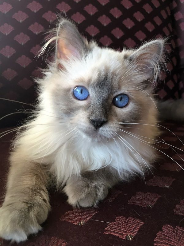 Beautiful Blue Point Balinese Kitten Old Style Traditional Catbreedssiamese With Images Pretty Cats Siamese Cats Blue Point Balinese Cat