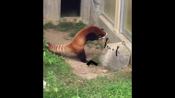 Red Panda Held Up by Rock - Cute animation https://www.youtube.com/watch?v=ajbt3-YyE4s