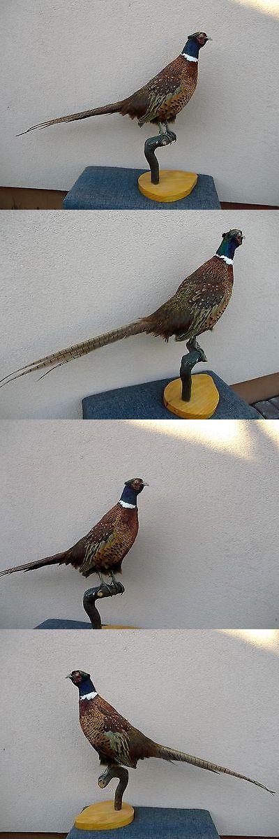 Birds 71123: Common Ringneck Pheasant Taxidermy Stuffed Mount Präparat Tassidermia Taxidermie -> BUY IT NOW ONLY: $129 on eBay!