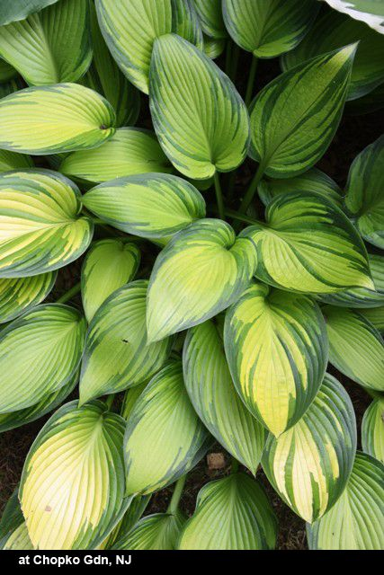 """Hosta 'June Fever'  This sport of the popular Hosta 'June' was discovered in Holland by hosta grower, Jan Van den Top. Hosta 'June Fever' is a mutation that has much brighter gold leaf centers than Hosta 'June', surrounded by the same blue-green border. Hosta 'June Fever' also has a much glossier leaf surface, which is quite stunning in the garden. When the plants are young, the leaf edge appears narrow, but will widen considerably when the 15"""" tall x 2' wide clump matures."""