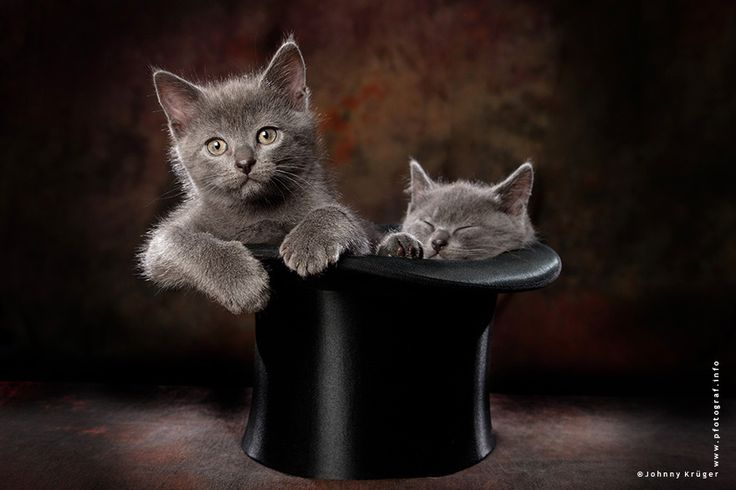 "10 week old Chartreux kittens. Adorable. ~""it's a kind of magic.."" by Johnny Krüger,"