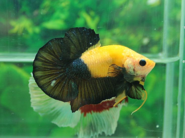 555 best images about betta on pinterest auction for Betta tropical fish