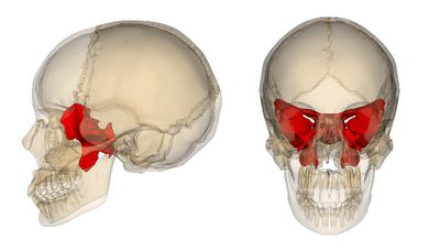 The Body Beyond: THE SPHENOID BONE