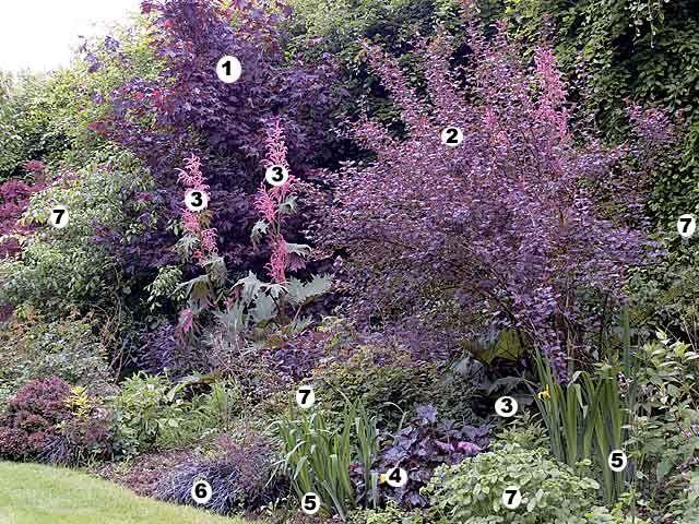 Plan-patron pour le jardin d'ornement : un massif dans les tons roses avec l'érable à feuilles palmées, le physocarpus opulifolius 'Diabolo', la rhubarbe d'o...