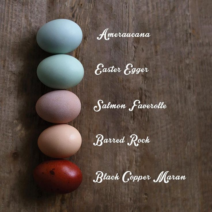 """What color does your chicken lay? Amercauna, easter egger, salmon faverolle, barred rock, black copper Maran chickens. """"I decided to lay out which chicken laid what color in case anyone was wondering. #eggs #eggcolors #dscolor"""""""