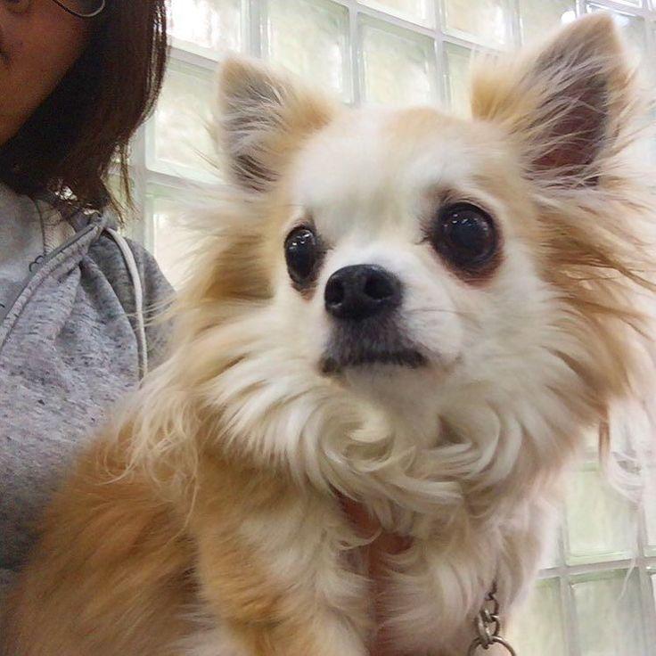 待合室はいつも物憂げ  看護婦さんにたっぷり甘えました  #あまえたさん #dekachiwa #chihuahua #dog #dogoftheday #dogofthedayjp #dogsofinstagram #チワワ #ふわもこ部 #chihuahuadog #chihuahuaofinstagram #animal #onlychihuahua  #しっぽふぁさ部