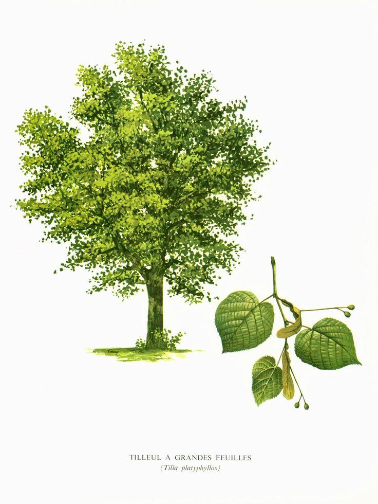les 283 meilleures images propos de antique botanical prints sur pinterest plantes. Black Bedroom Furniture Sets. Home Design Ideas
