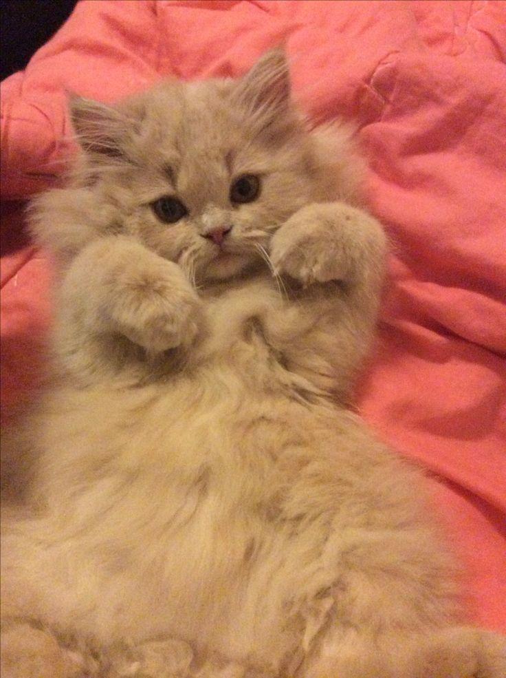 Persian cat long face