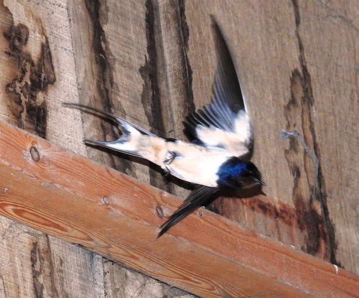 Boerenzwaluw vliegt de schuur in naar het nest in de nok. - Vogels - Boerenzwaluw