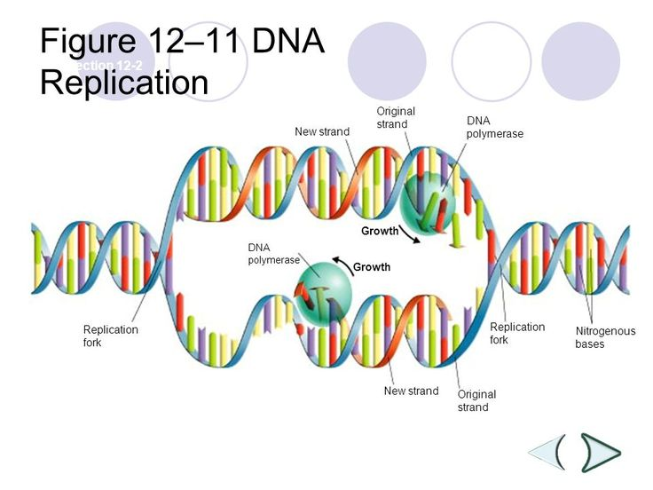 DNA & RNA -  12–11 DNA Replication Section 12-2 Growth Replication fork DNA polymerase New strand Original strand DNA polymerase Nitrogenous bases Replication ...