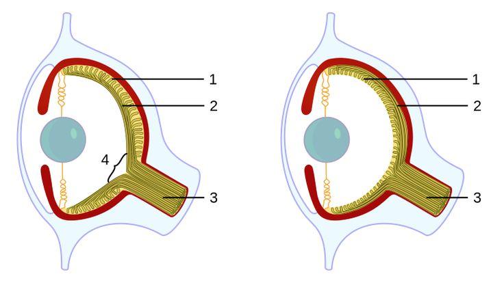 File:Evolution eye.svg
