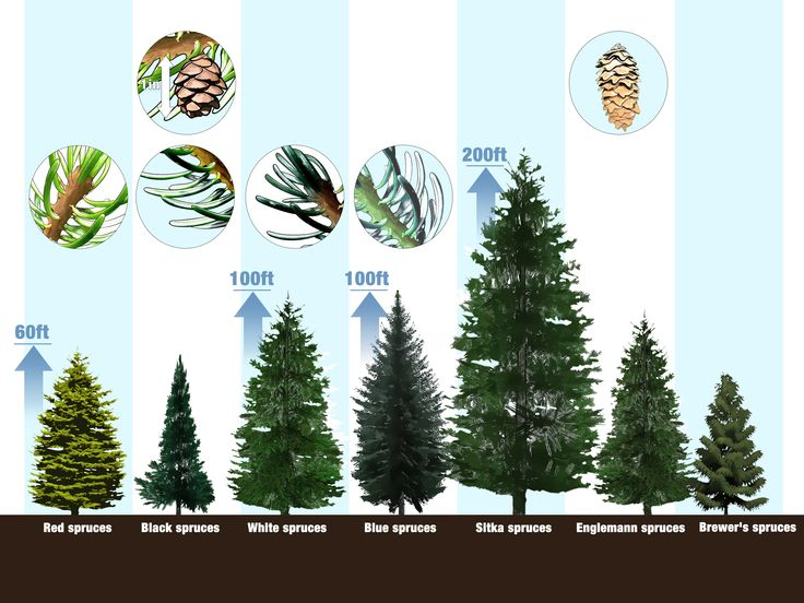 15 best Spruce Trees images on Pinterest