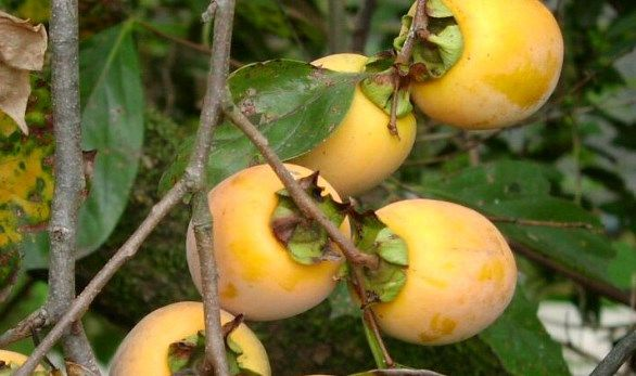 Persimmon fruit benefits - Excellent health with persimmon tree fruit - stronghealth24