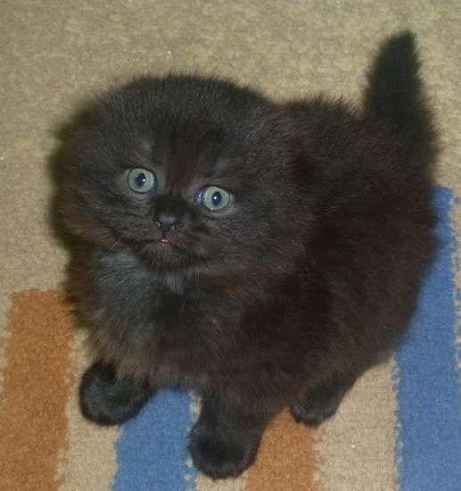♥CG♥ 192 York Chocolate Kitten CAT GALLERY I Pinterest