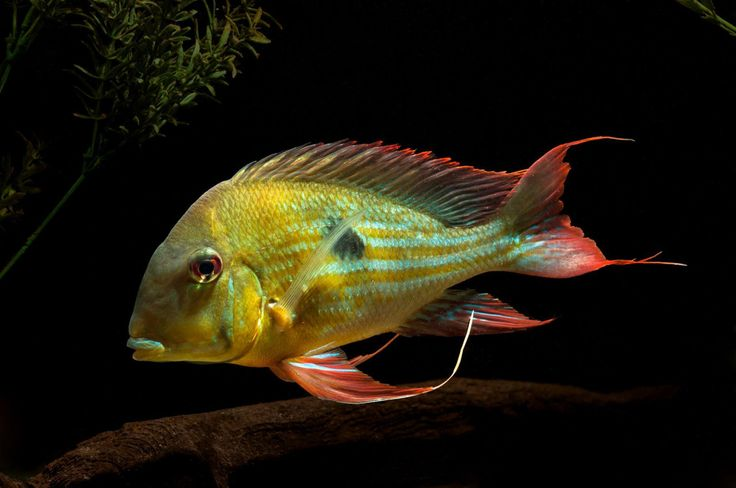 1297 best images about freshwater aquarium on pinterest for Pretty freshwater fish