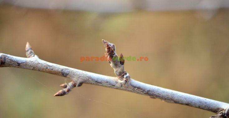 Iată care sunt ramurile florifere (de rod) la prun și cais | Paradis Verde