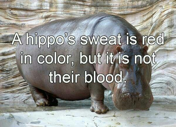 A hippo's sweat is red in color, but it's not their blood.
