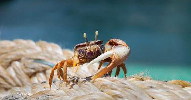 Cómo agregar una rana o un cangrejo a tu acuario de agua dulce. Si estás buscando una manera de agregar diversidad a tu acuario, considera la adición de una rana o un cangrejo. Las ranas africanas enanas son las ranas de agua dulce más ampliamente disponibles y, debido a que son completamente acuáticas, se adaptan bien a la vida en un acuario establecido. Los cangrejos de acuario vienen en una variedad de ...