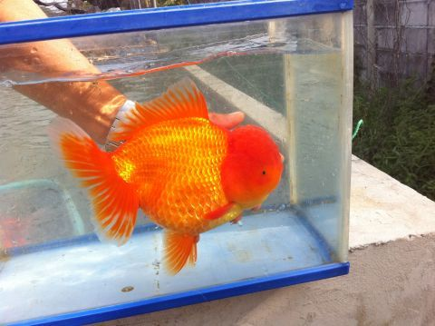 60 best images about big goldfish on pinterest black for The fancy fish