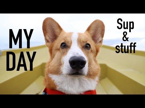 Dog Supping My Day Topi The Corgi Youtube Corgi Dogs Animals