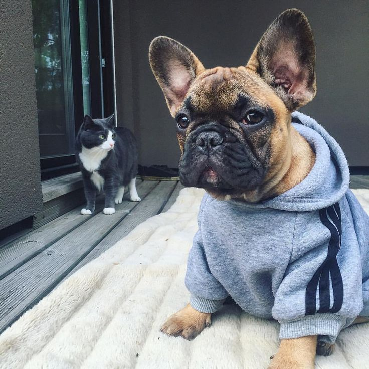 French Bulldog Puppy and the Cat