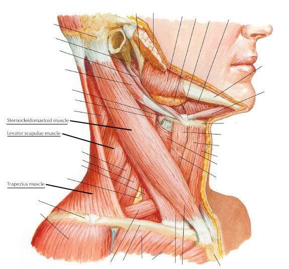 levator scapulae | human muscles | pinterest, Muscles