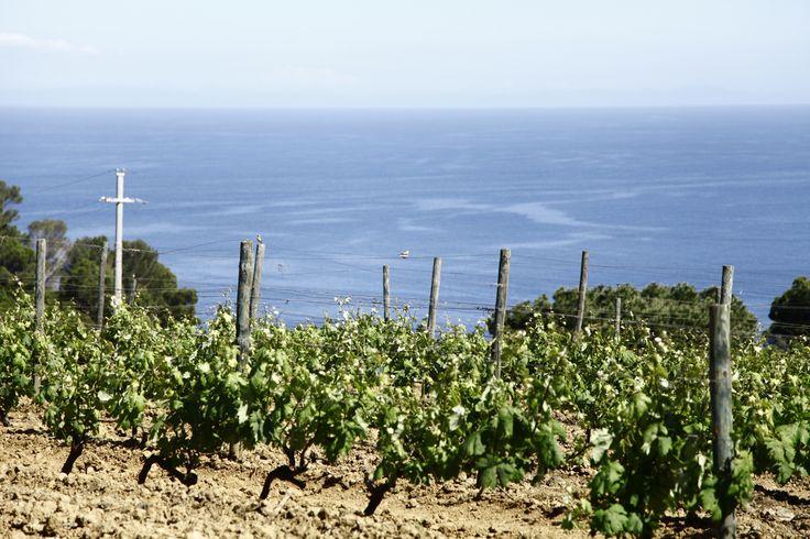 Gorgona - vineyards