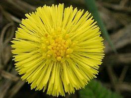 Der Huflattich ist so genügsam, dass er sogar auf reiner Braunkohle wächst. Im zeitigen Frühjahr gehört er zu den ersten Pflanzen, die ihre Blüten entfalten. Oft werden die gelben Huflattichblüten mit Löwenzahn verwechselt, doch beim genaueren Hinschauen erkennt man erhebliche Unterschiede, denn die Huflattichblüte wächst nicht nur auf einem geschuppten Stengel, sondern die Pflanze hat auch gar keine Blätter in der Blütezeit.
