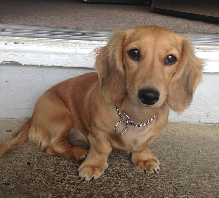 Beatrix, longhaired shaded cream miniature dachshund