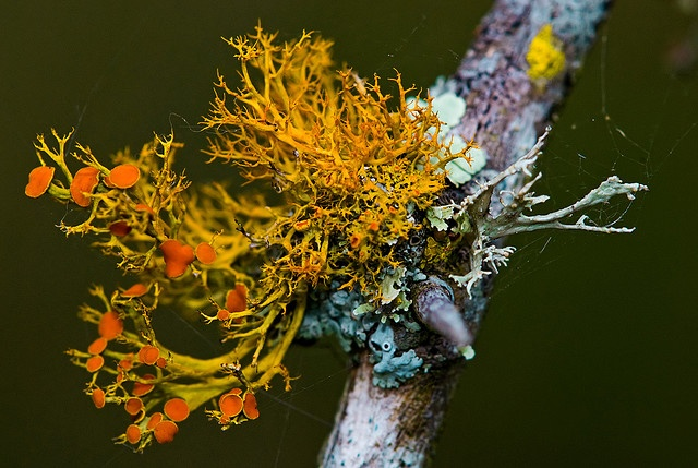 Lichens on a mesquite twig