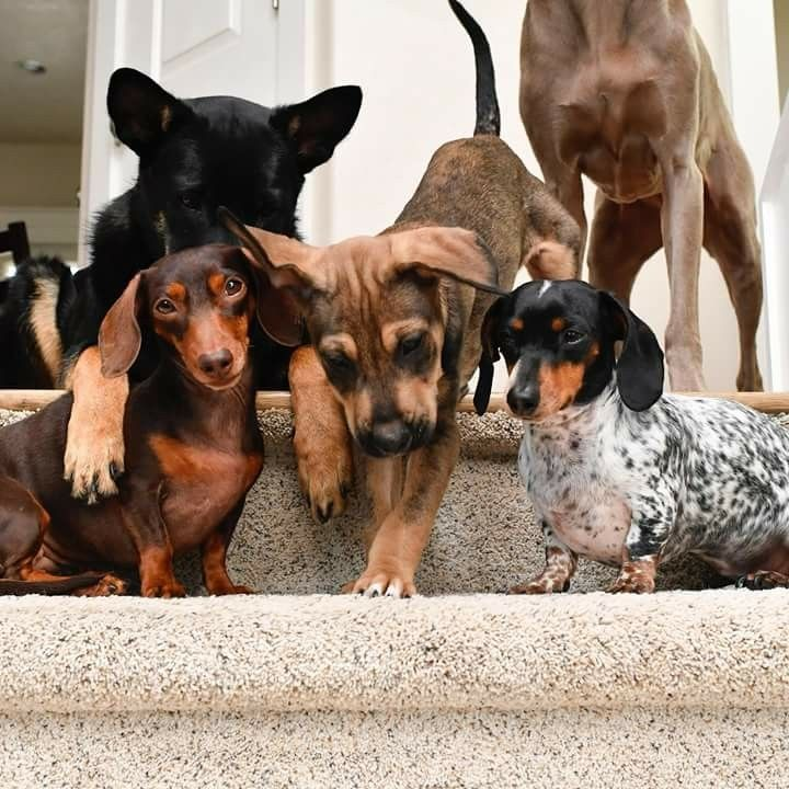 Pin By Debbie Babas On Harlow And Indiana Weiner Dog Cute Dogs Cute Animals