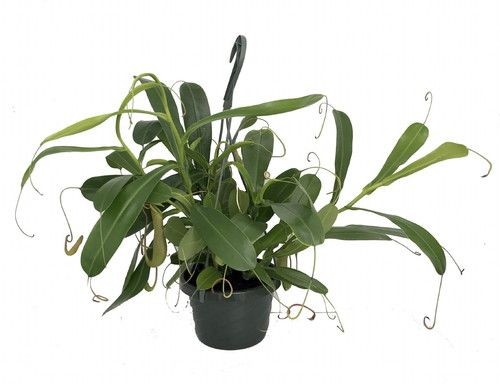 "Asian Pitcher Plant - Nepenthes - Carnivorous - Exotic - 6"""" Hanging Basket"