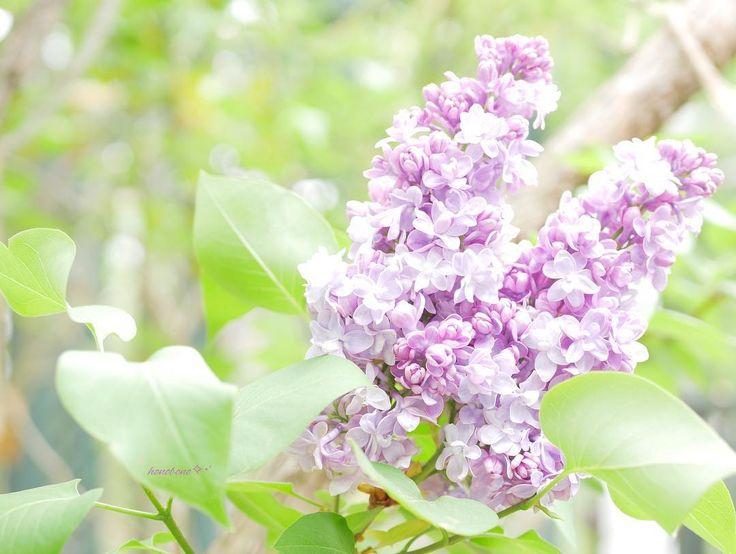 うさぎ ✲*゚ * *  可愛い子 み~つけた ✧‧˚ * *  薄紫色の うさぎ * *  八重のライラック * *  花言葉 ❁ 初恋  恋の芽生え * *  通常 ライラックの花びらは4枚❁.*・゚ でも その中に 5枚の花びらを見つけたら 黙って飲み込むと 愛する人と永遠に過ごせるという ロマンチックな言い伝えがあるらしい゚・*:.。❁ * *  もし見つけたら あなたならどうする(๑• . •๑)? * * ( *¯ ꒳¯*) モグモグシナイト ノミコメマセン… * * #ライラック#リラ#八重咲き#花#花が好き #花が好きな人と繋がりたい #花言葉#初恋#恋の芽生え#5枚の花びら#ロマンチックないい伝え#ロマンチックな気持ちで花を愛でる#花を愛でる#新緑#whim_fluffy #lilas #flower #flowers #flowerstagram #flowerslovers #instaflower #写真好きな人と繋がりたい #花の写真を撮るのが好きな人と繋がりたい…