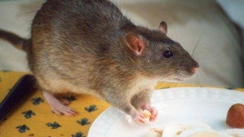 Dead rat found in Brewers Fayre pub